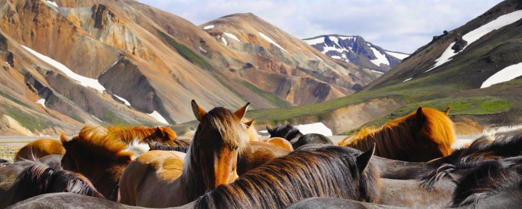Pferde in Landmannalaugar, Island