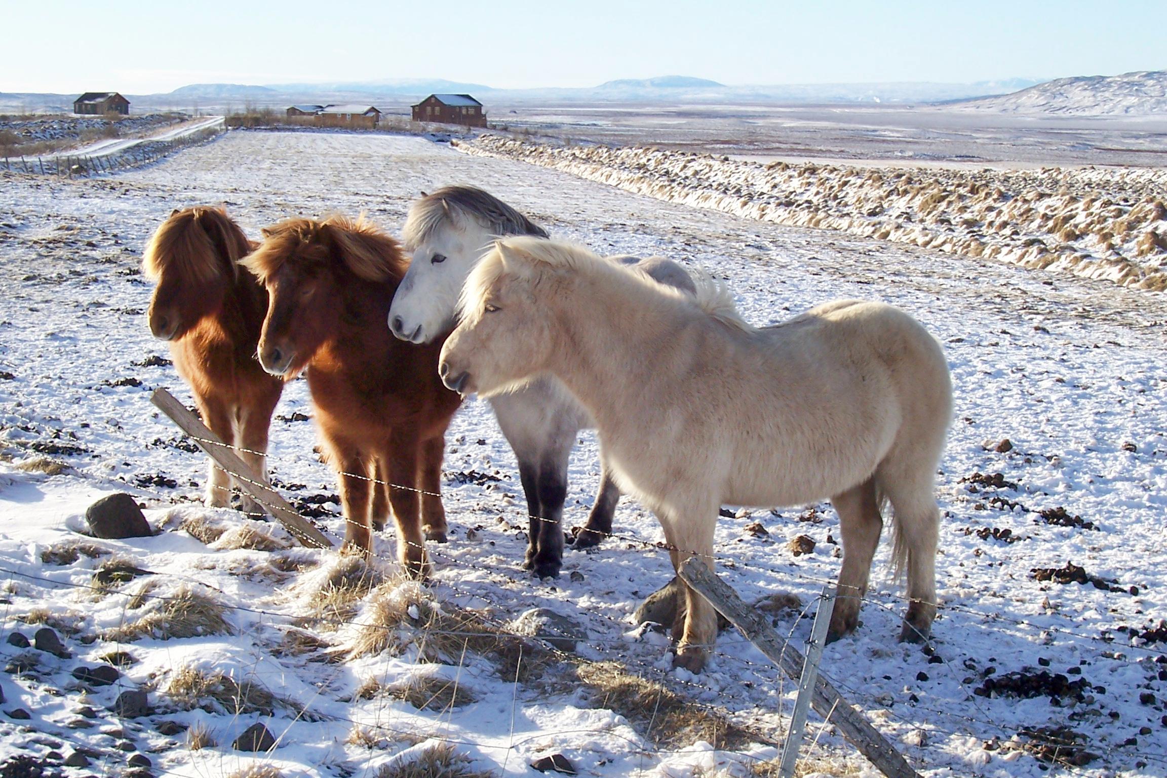 Island, Suedisland,  Winter, Schnee, Islandpferde, Pferde, Pferdeherde