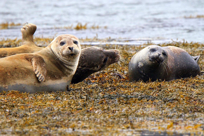 Island, Seehunde, Tiere, Kueste, 2015