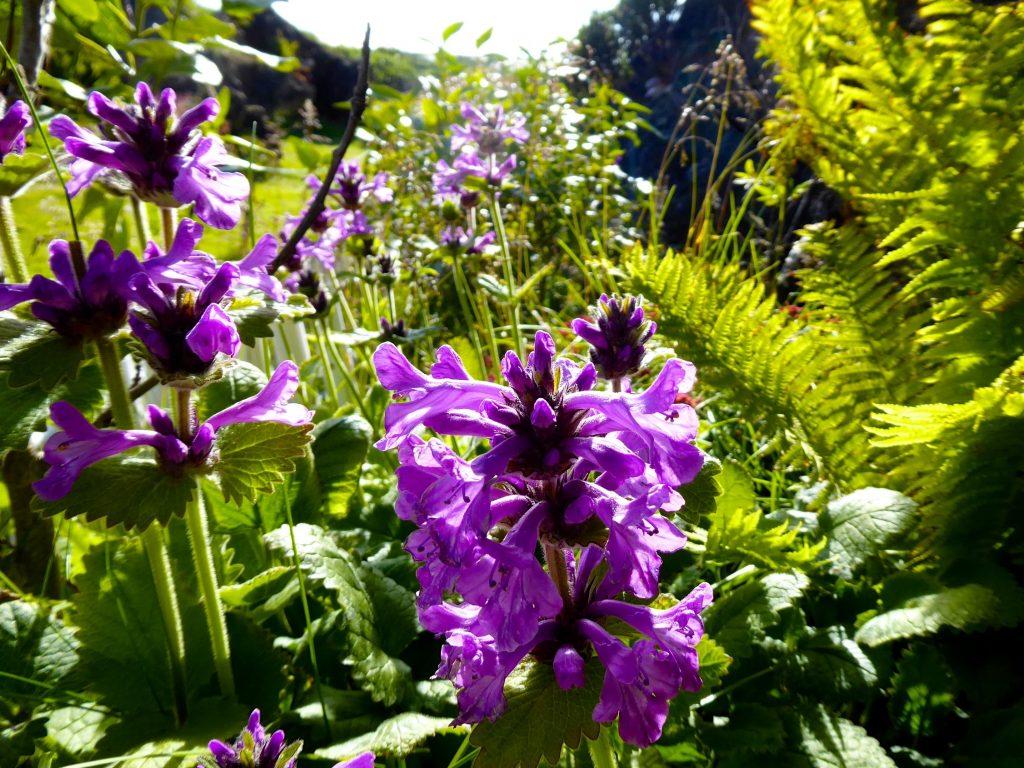 Blumen in Island