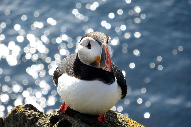 Papageientaucher in Island muß Stillhalten für das Foto
