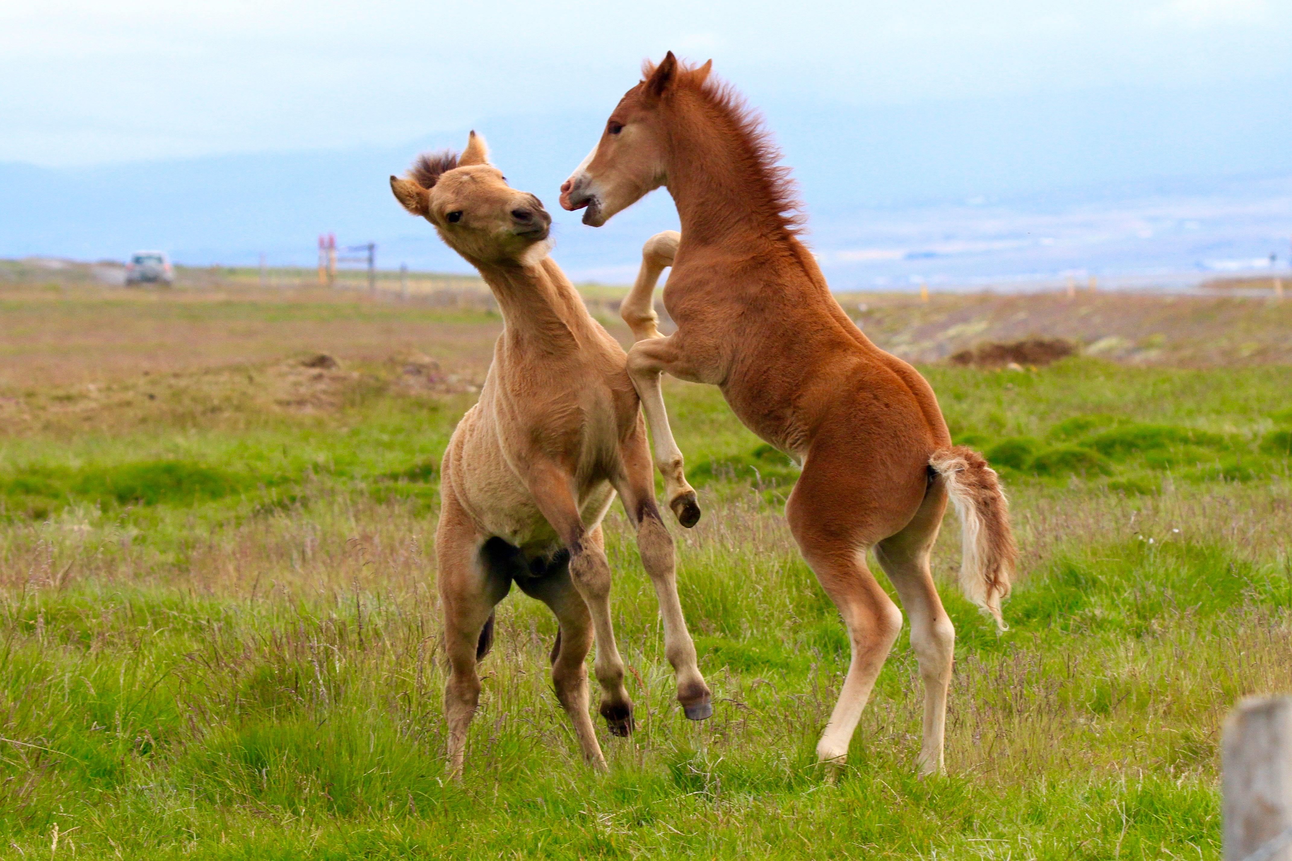 Island, Nordisland, Islandpferde, Pferde, Fohlen, Tiere, 2015