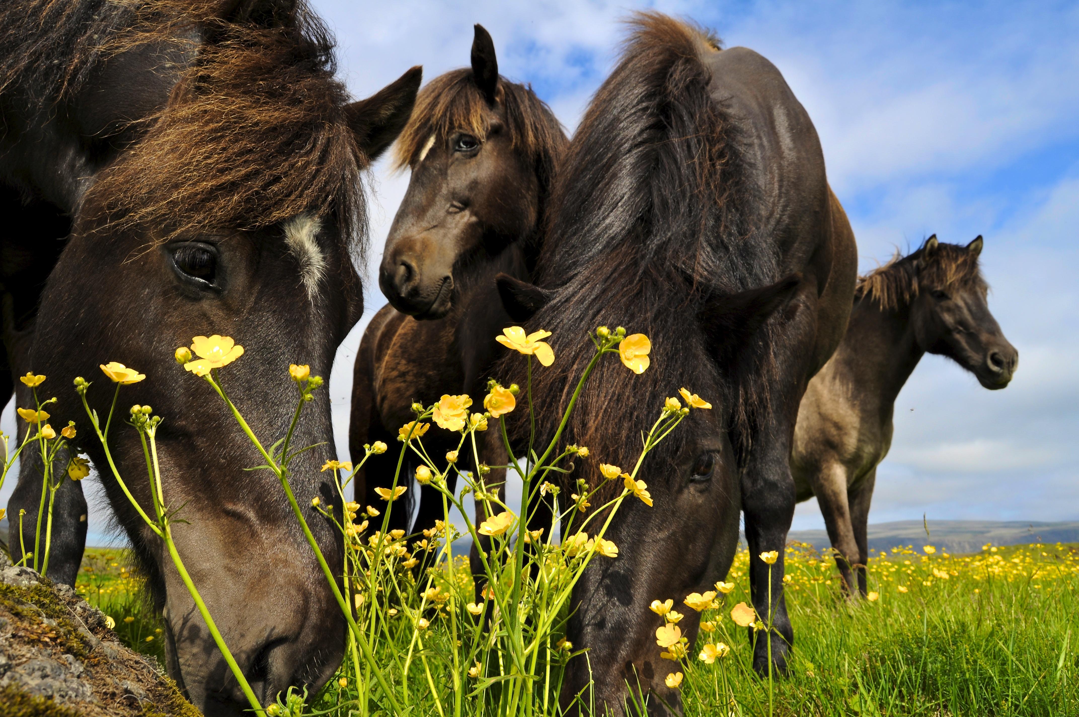 Islandpferde grasen