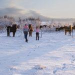 Island im Winter, Pferde im Schnee