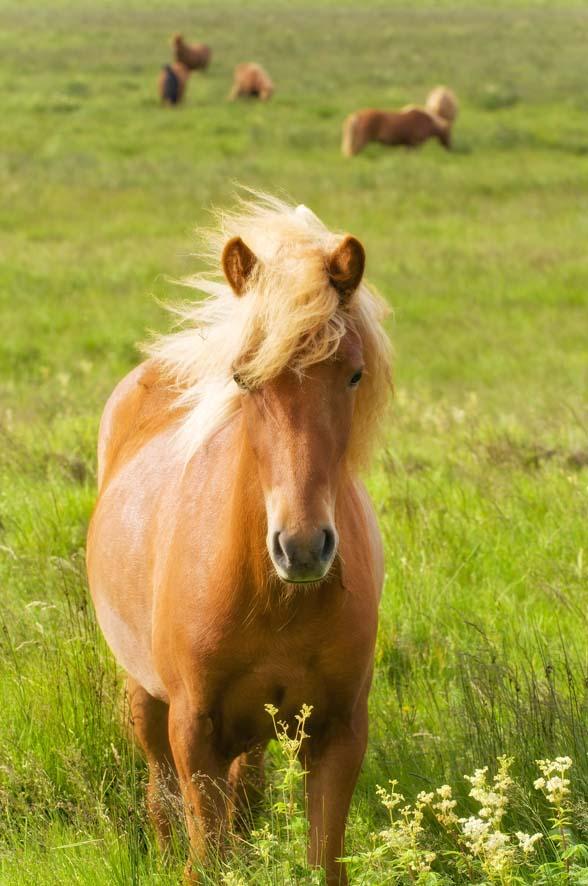 Europa, Skandinavien, Island, Fludir, Suedisland, Islandpferde, Pferde, Insel, Norden, WerbungPR, 8/2011