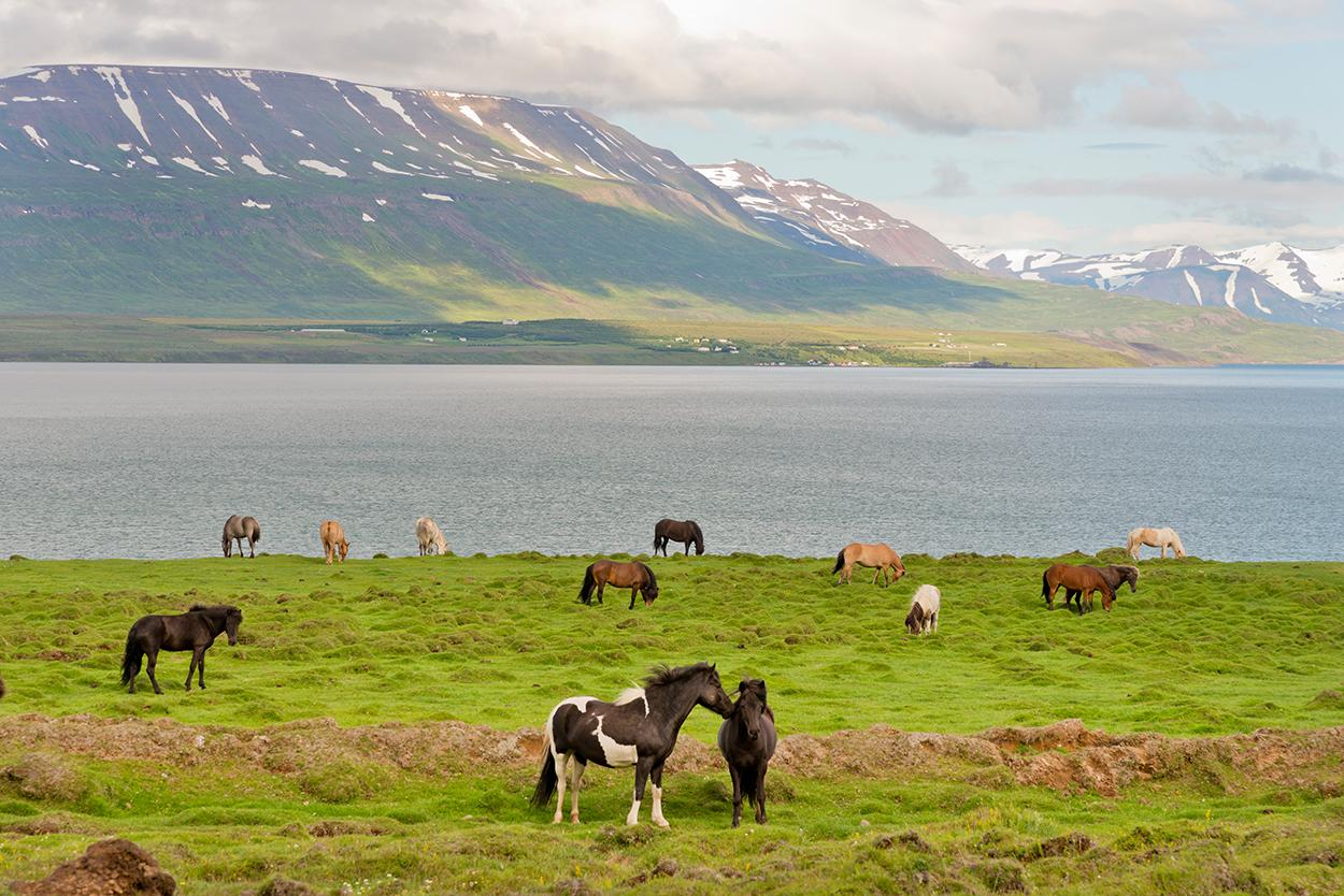 Island, Nordisland, Eyjafjoerdur, Pferde, Islandpferde, Tiere, Meer, schneebedeckte Berge, Fjord, Landschaft, WerbungPR, 7/2014