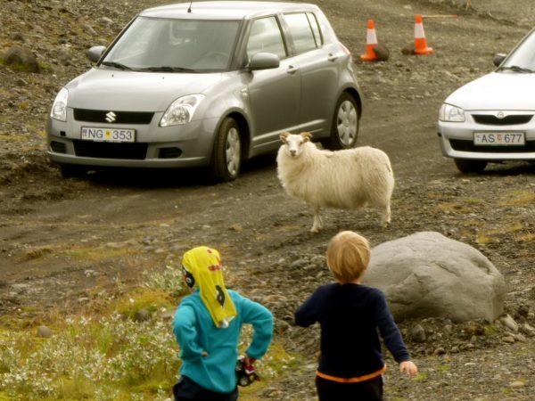 Kinder in Island an einer Straße mit Schafen