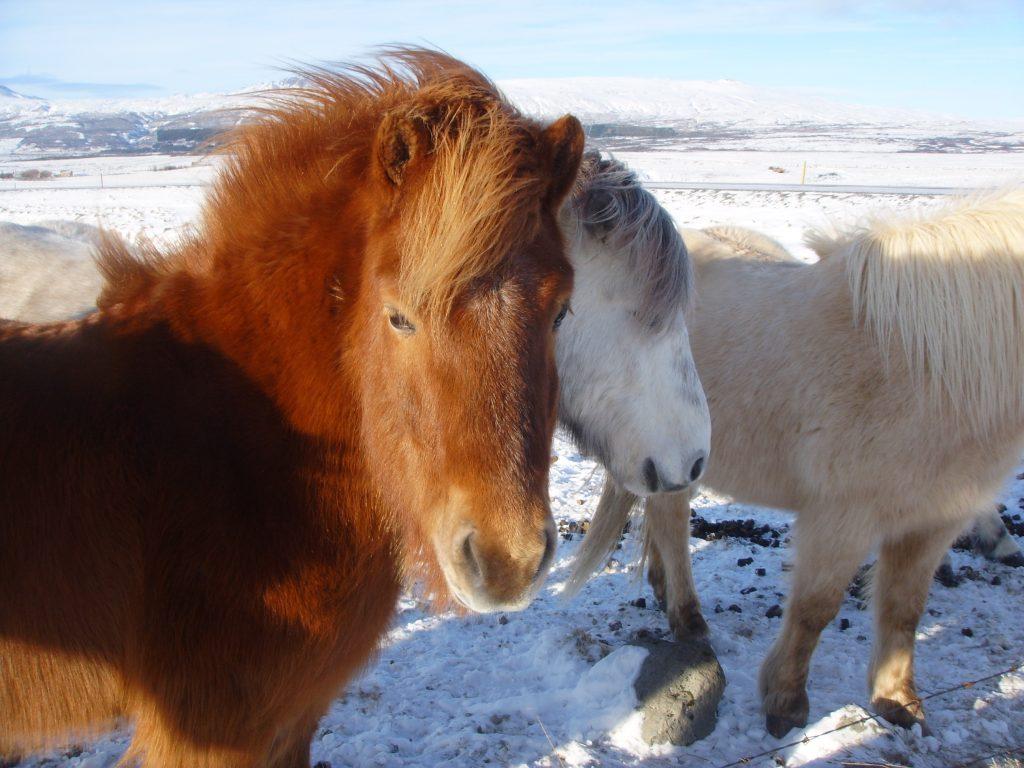 Island, Winter, Pferde, Islandpferde, Schnee