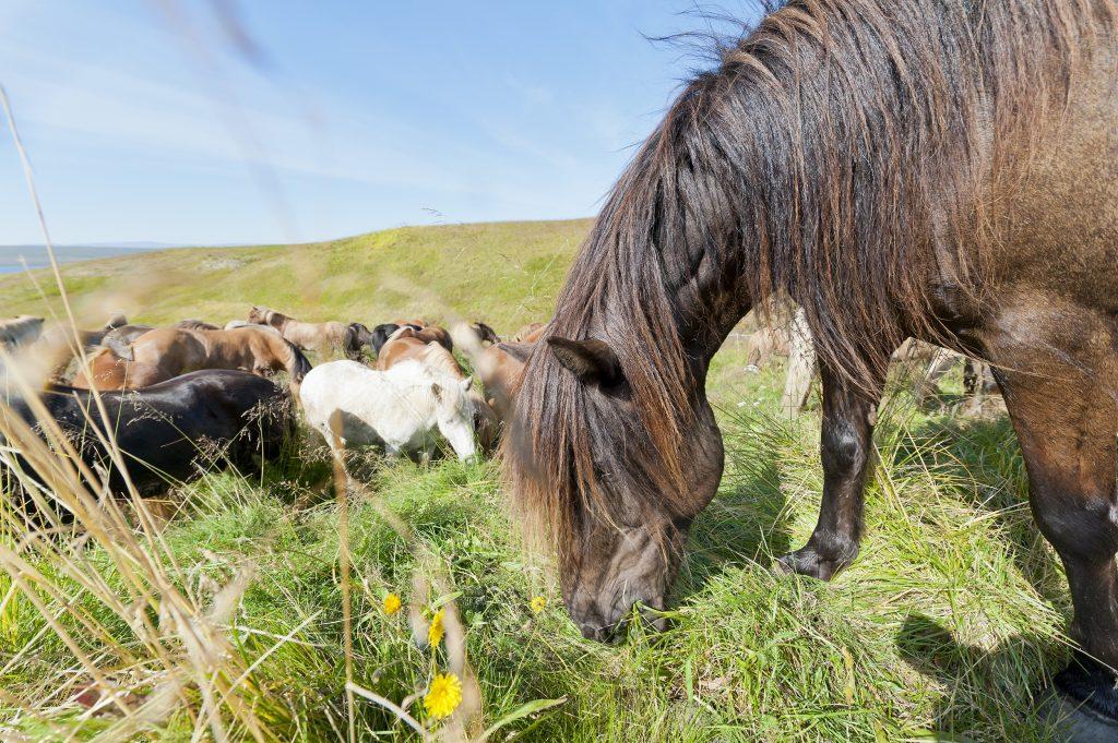 Grasende Pferde auf einer Wiese in Island