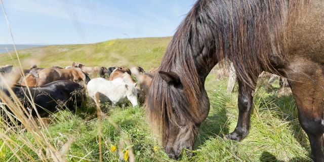 Reiterurlaub auf Island