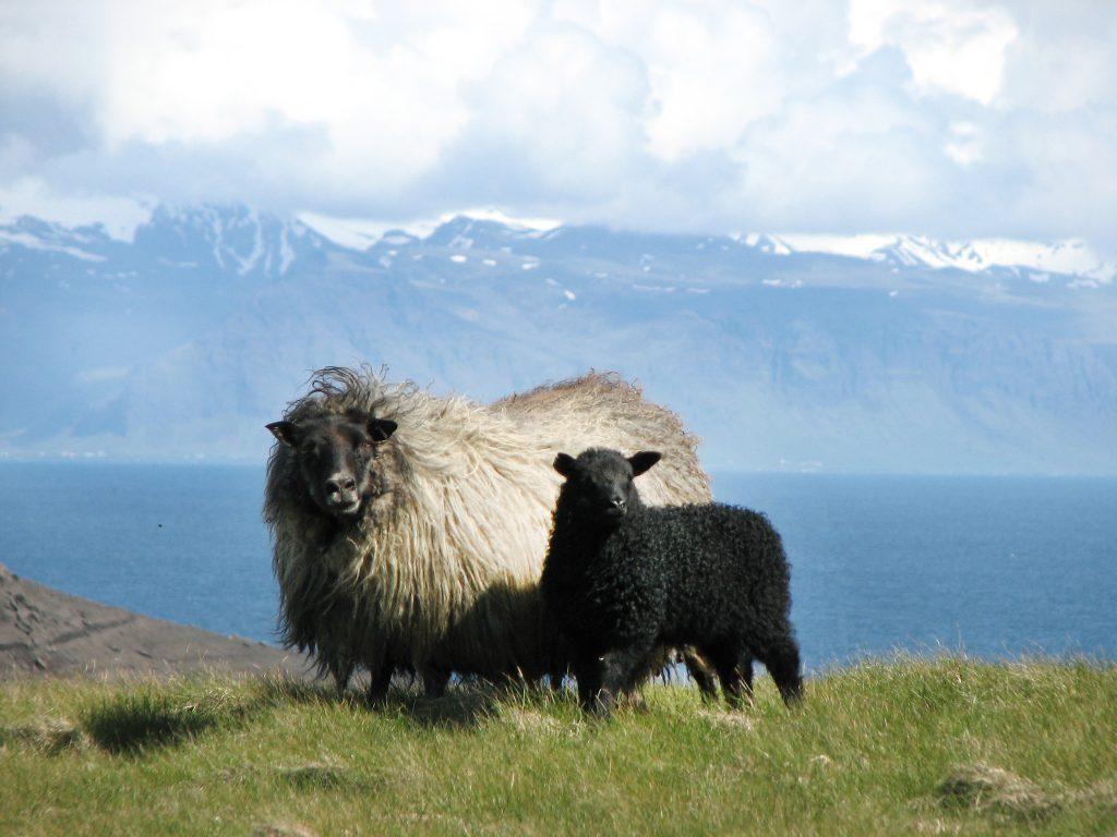 Schafe auf Wiese vor isländischem Fjord