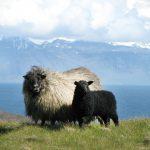 Island, Tier, Schaf