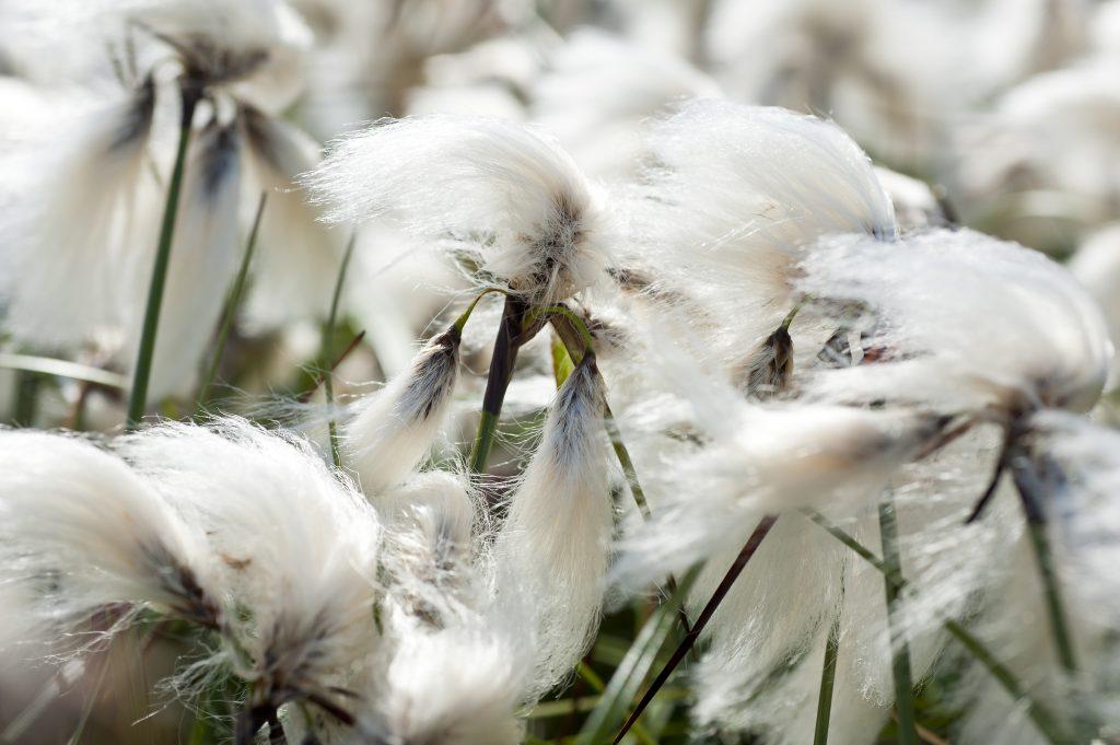 Europa, Island, Suedisland, Wollgras, Pflanzen, WerbungPR, 7/2014