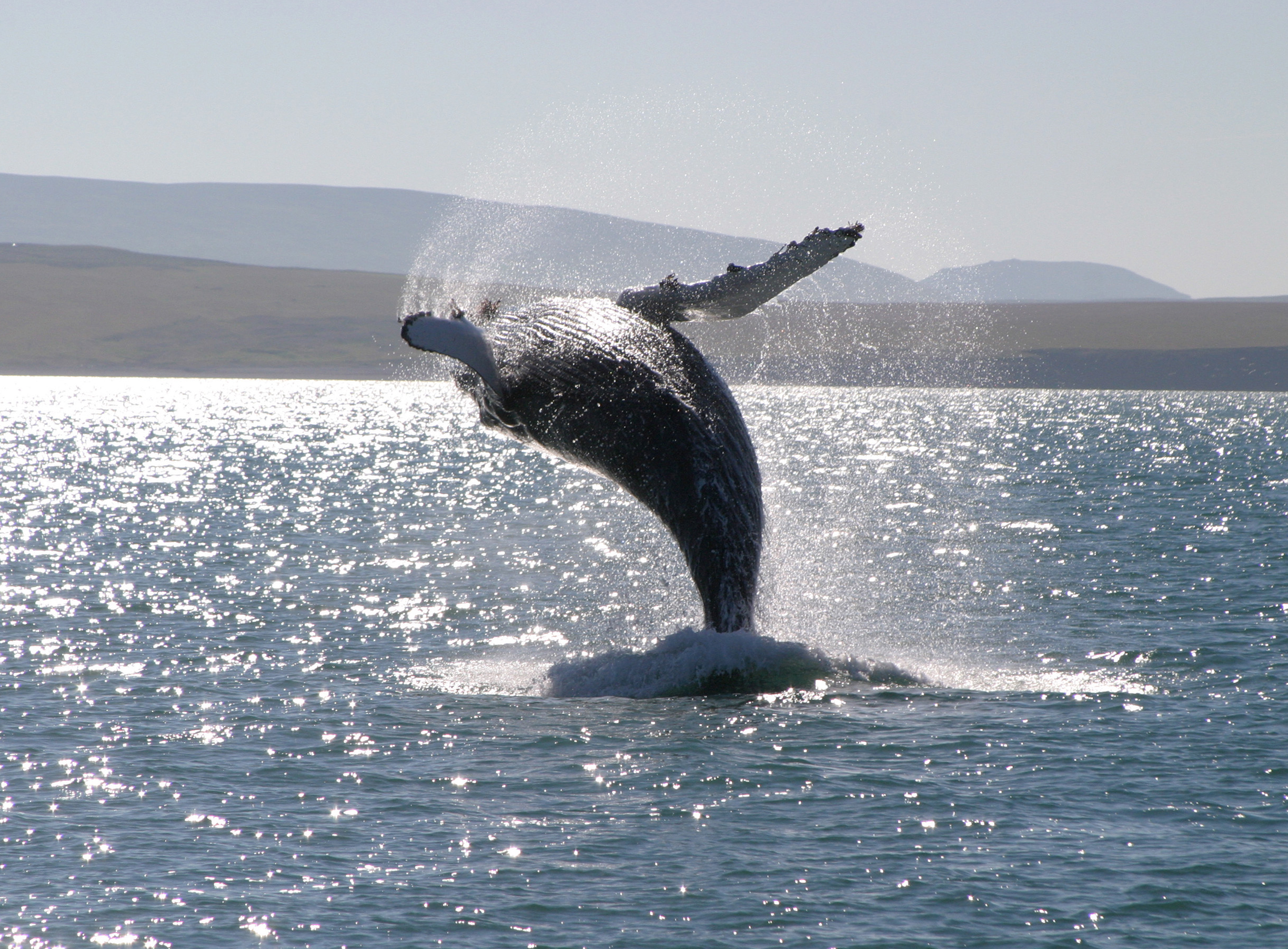 Island, Walsafari, Wal springt, Tier, Natur, Whale watching