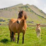 Islandpferd mit Fohlen