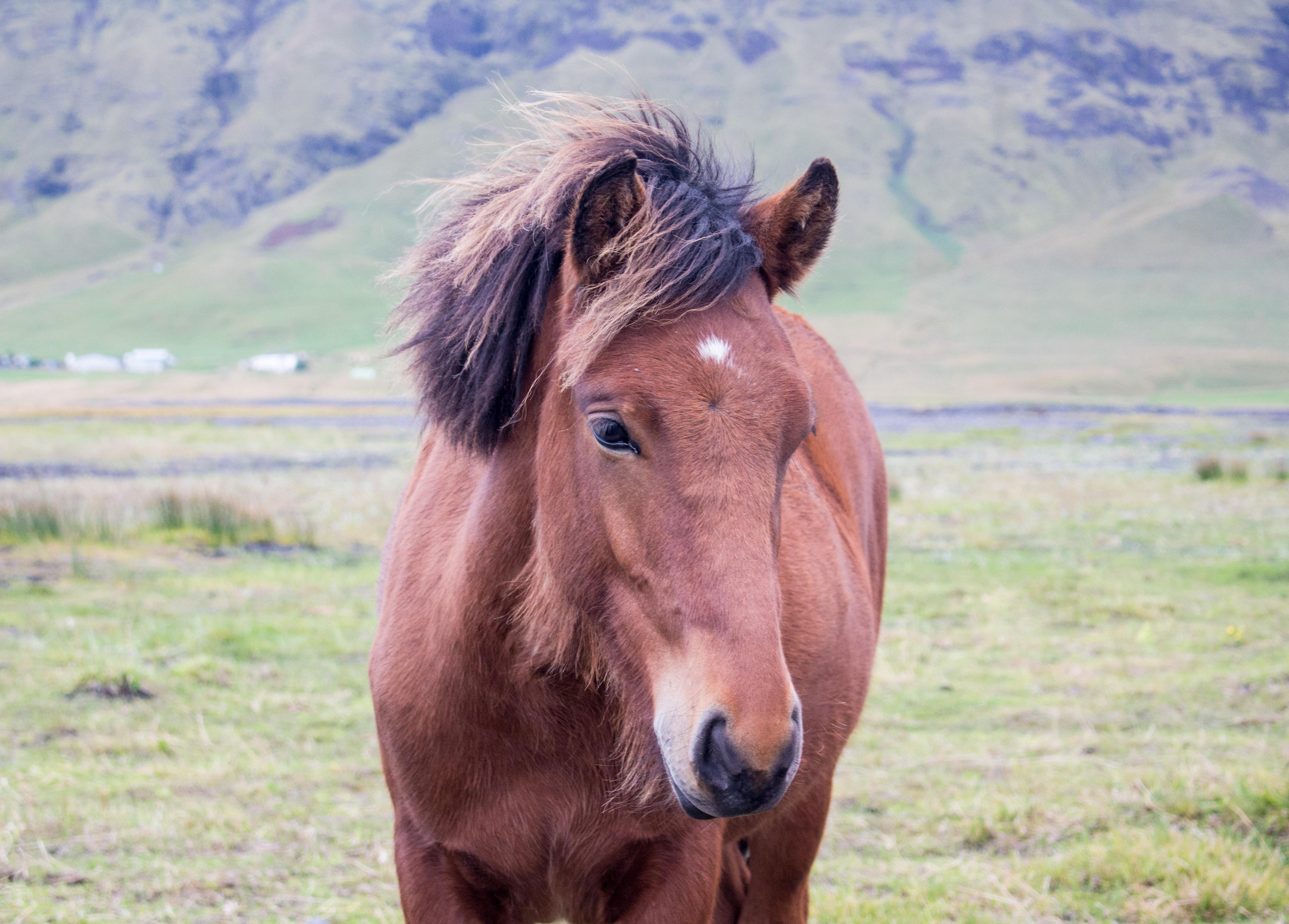 einzelnes Islandpferd in Südisland