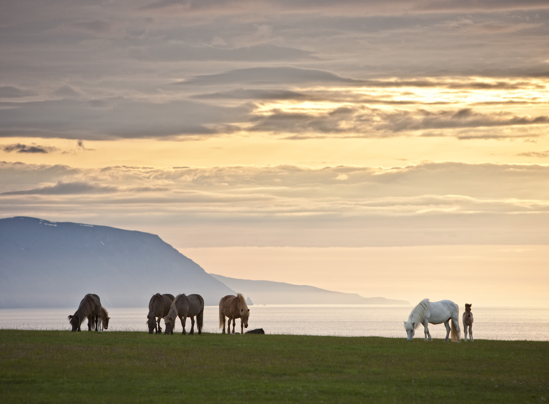 Islandpferde in Nordisland