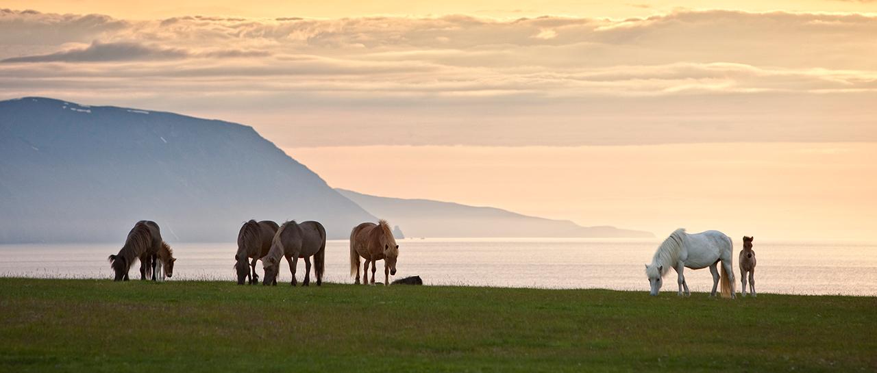 Island, Nordisland, Husavik, Pferde, Islandpferde, Mitternachtssonne, Lichtstimmung