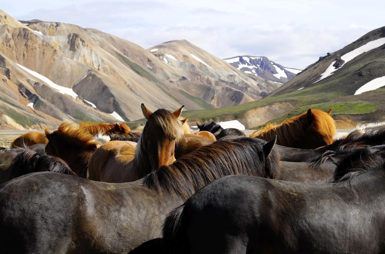 Islandpferde in Landmannalaugar