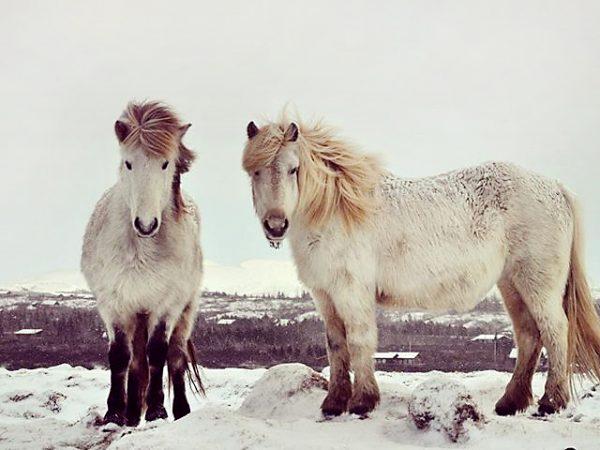 Islandpferde in Winterlandschaft
