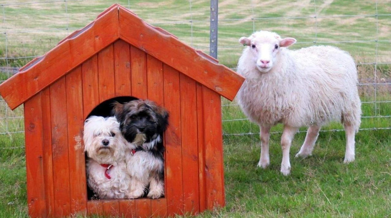 Tiere nahe dem Hotel Laekur in Südisland