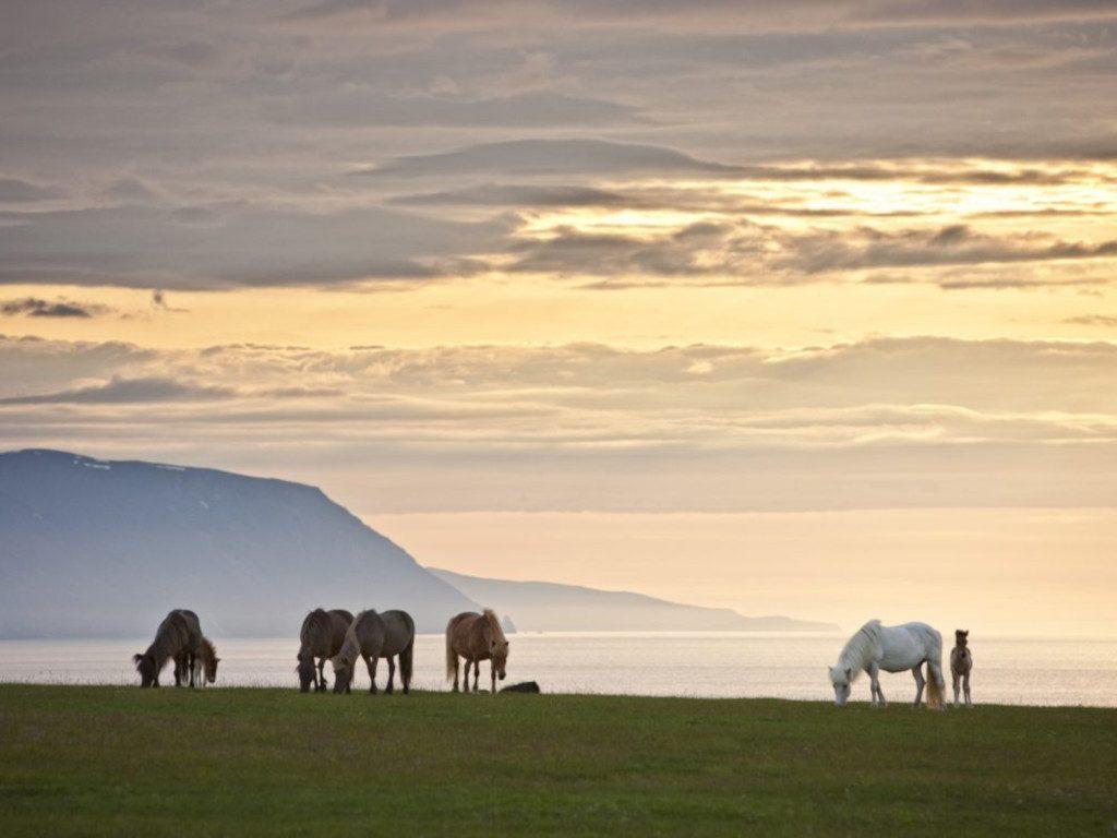 Island-Pferde grasen an Islands Küste