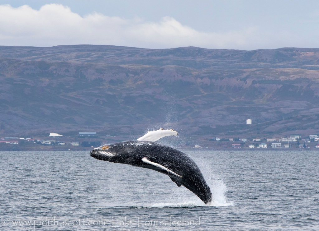 springender Wal in Island