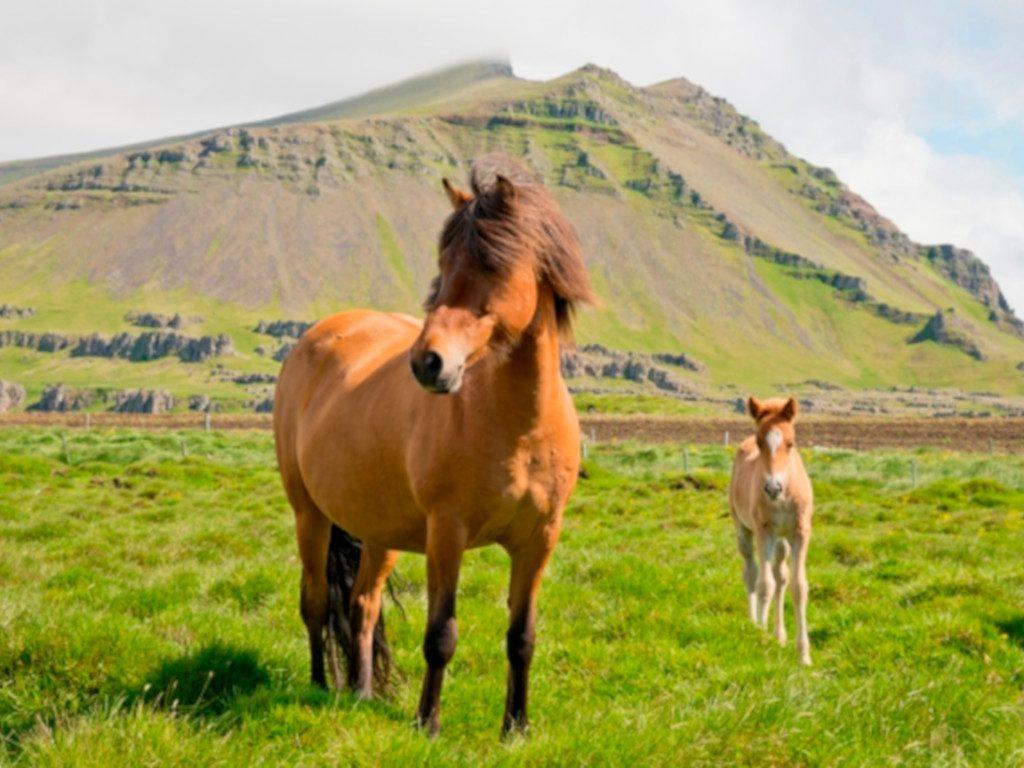 Islandpferd mit Fohlen auf Wiese in Island