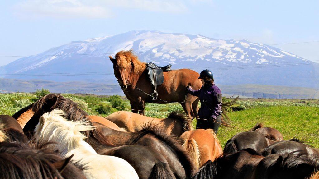 Islandpferde vor einem Gletscher