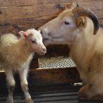 Lämmchen mit Mutterschaft im Stall von Bjarteyjarsandur