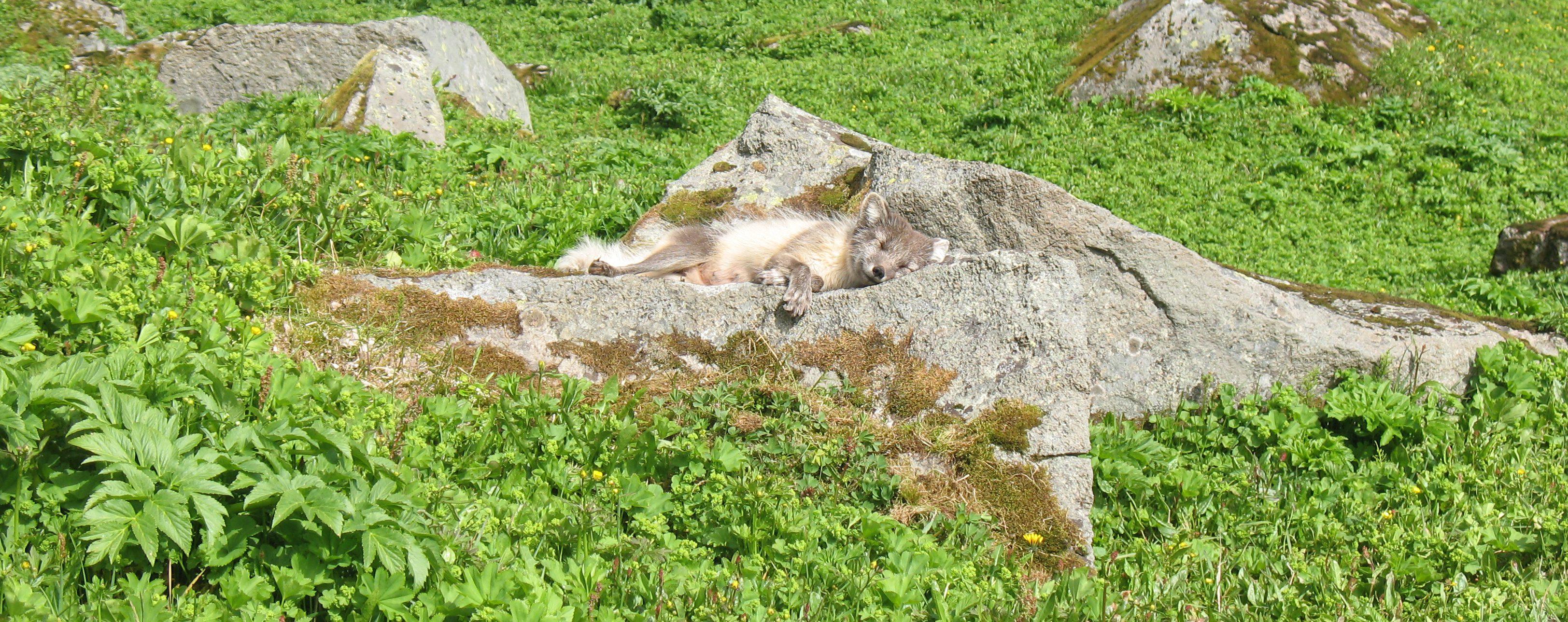 polarfuchs-hornstrandir-island-panorama-aldis