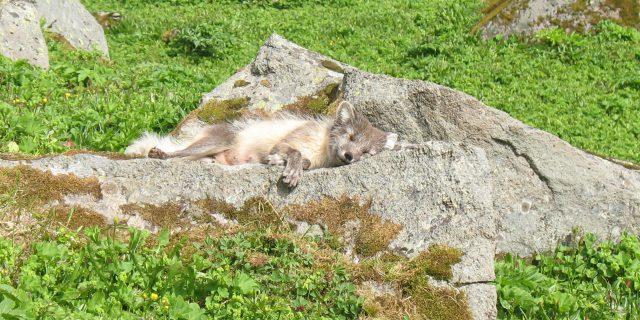 Polarfuchs liegt auf einem Stein in den Westfjorden von Island