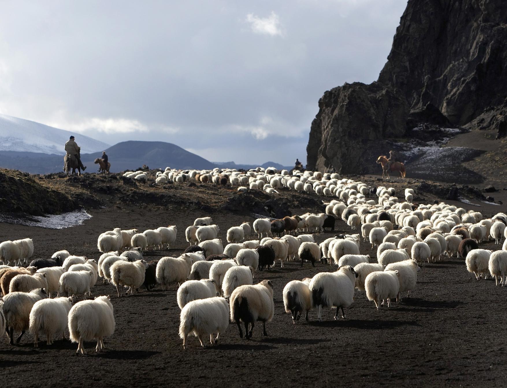 Schafe beim Schafabtrieb