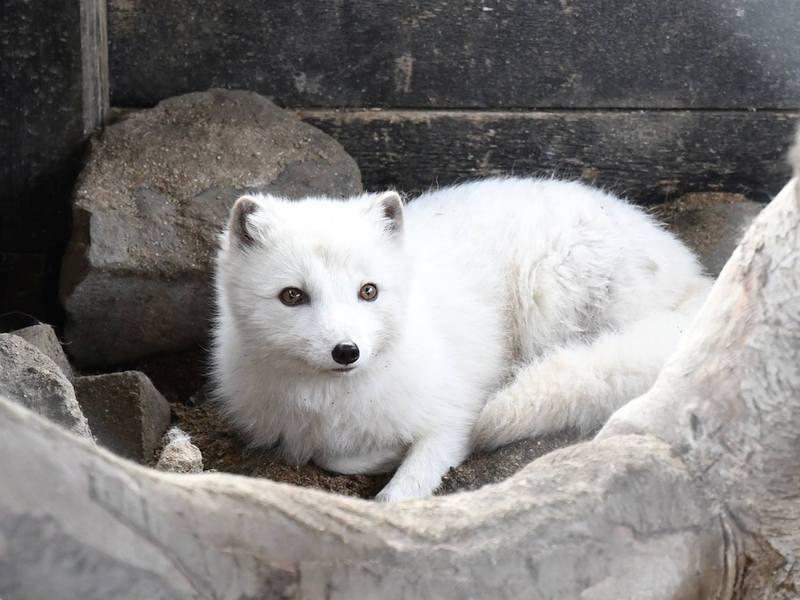 Polarfuchs im Slakki Streichelzoo